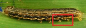 Armyworm (common or true)