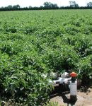 Irrigated tomato field
