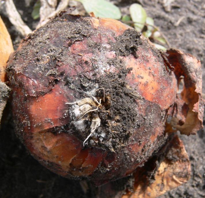 Onion Fusarium Basal plate rot 899b