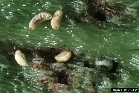 Figure 4: Pepper weevil larvae and pupae
