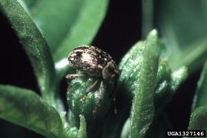 Figure 1: Pepper weevil adult on pepper flower bud