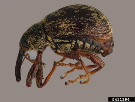 Figure 2: Pepper weevil adult