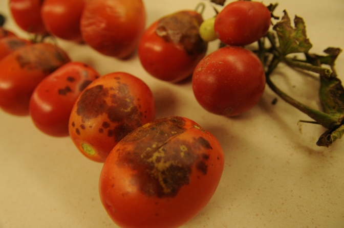 Tomato fruit rots