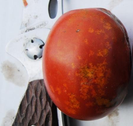 Figure 8. Stink bug injury on tomato