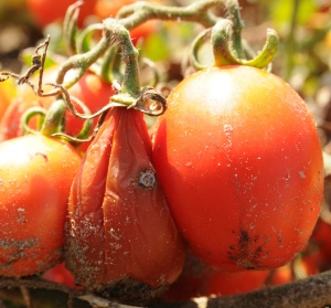 Bacterial soft rot of tomato