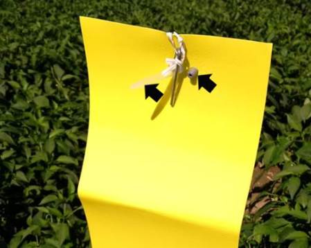 Figure 7: Pepper weevil pheromone trap showing two lures (indicated by arrows)