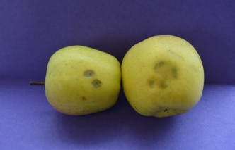 Figure 1. Two apples, both with stink bug injury. The apple on the right has multiple feeding sites and appears irregular.
