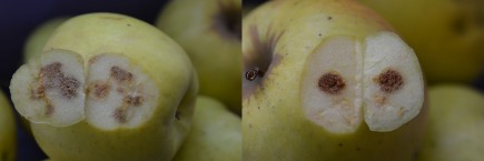 """Figure 3. Corking appears immediately under the skin with stink bug injury, versus cork spot (not shown), which may be either circular or diffuse and may be separated from the skin by """"healthy"""" flesh."""