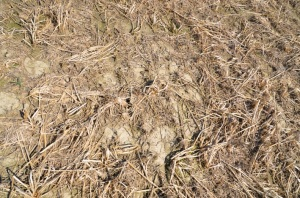 The same field showing oat and radish residue in the spring on a clay loam soil. Corn was no-tilled into this in the spring