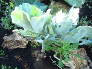 stunted cabbage with severe club root.