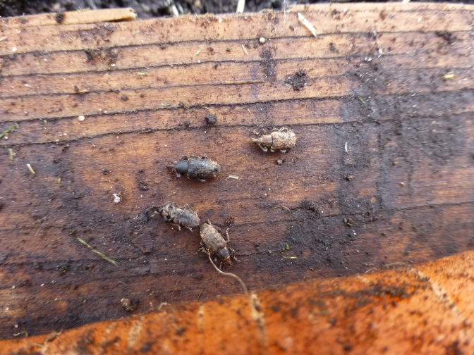 Carrot Weevil Control Update