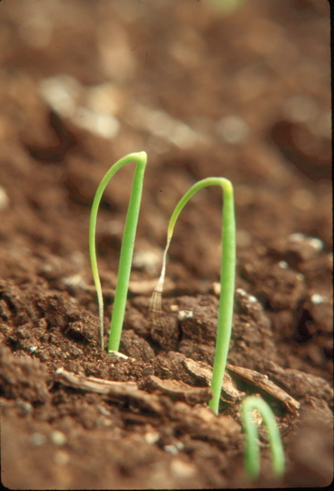 Prowl® H2O Herbicide label expanded for control of labeled weeds on direct seeded green onions grown on muck soil