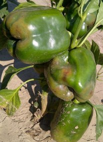Phytophthora symptoms on pepper fruit