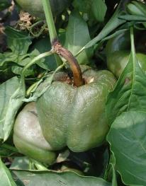 Phytophthora symptoms on pepper fruit