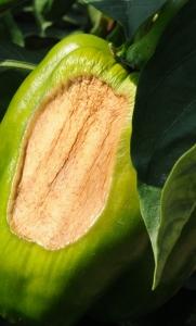 Sunscald of pepper fruit