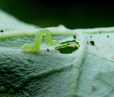Loopers make irregular holes in leaves between the leaf veins and leave copious amounts of black excrement. Photo: A.M Valera.