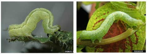 Larvae of Tomato Looper (left) and Cabbage Looper (right) are extremely similar in appearance. DNA sequencing is the only way to accurately tell larvae apart. Photos courtesy of Bugwood.org.