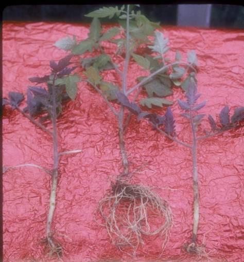 Treflan injury to tomato