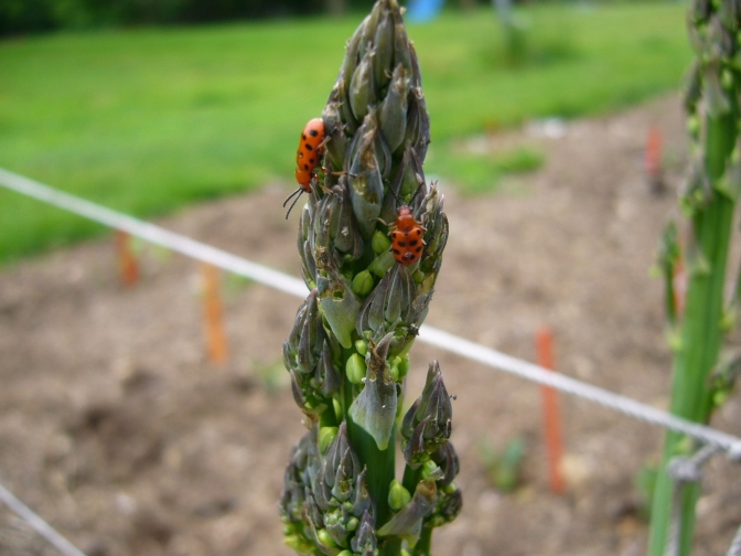 Time to Scout for Asparagus Beetles