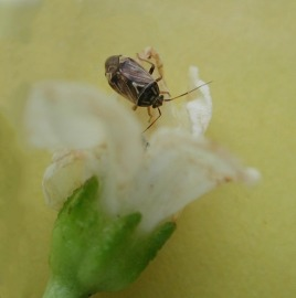 Tarnished plant bug on pepper blossom