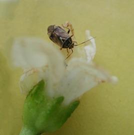 Tarnished plant bug on pepper blossom
