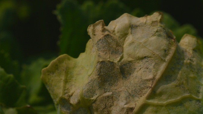 Downy mildew of brassica vegetables