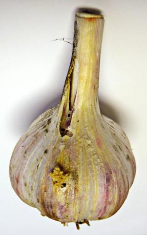 Fig2-Garlic bulb damage with leek moth frass Brauner