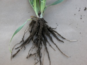Soil adheres to the root exudates on this oat plant