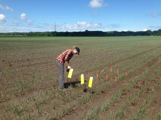 Vegetable Summer Student Positions for OMAFRA in Guelph